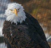 Águila calva madura Foto de archivo libre de regalías