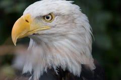 Águila calva madura Fotos de archivo libres de regalías