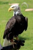Águila calva que se coloca en la mano de un hombre Fotos de archivo libres de regalías