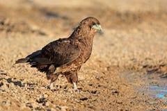 Águila de Bateleur en el waterhole Fotografía de archivo