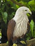 Águila de mar joven Imágenes de archivo libres de regalías