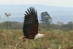 Águila de pescados africana en vuelo Foto de archivo libre de regalías