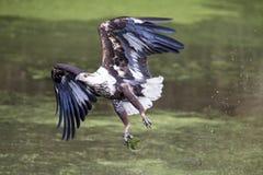 Águila de pescados no madura intentada para coger y faltada Foto de archivo libre de regalías