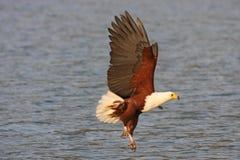 Águila de pescados Umnagazi Imagenes de archivo