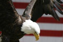Águila del vuelo Fotos de archivo libres de regalías