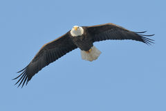 Águila en vuelo Fotos de archivo