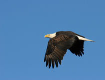 Águila en vuelo Imagen de archivo libre de regalías