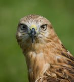 Águila full-face Imagen de archivo