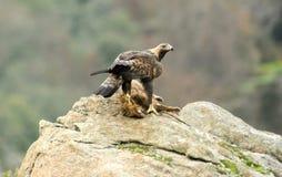 Águila real con la presa en sus garras en el campo Fotografía de archivo libre de regalías