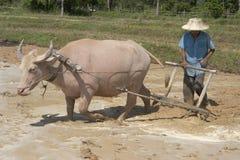 Guilhotina com búfalo de água Imagens de Stock Royalty Free