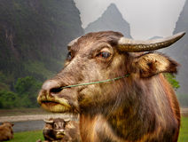 The Guilin landscape pictures - Guilin Li River. Buffalo home. Stock Image