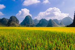Guilin rice mature Royalty Free Stock Photos