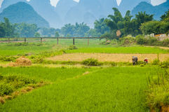 Guiling landscape with rice fields Royalty Free Stock Photos