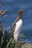 Guillemot Royalty Free Stock Photo