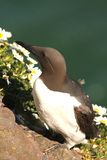 Guillemot Stock Photos