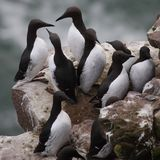 Guillemot At Fowlsheugh Royalty Free Stock Image