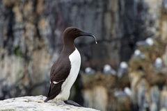 Guillemot with Catch Stock Photo