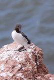 Guillemot on a cliff Stock Photo