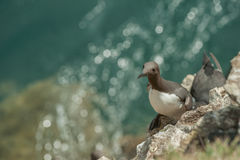 Guillemot on a cliff ledge. Royalty Free Stock Photography