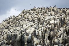 Guillemot Colony. On the Farne Islands in the North Sea stock photography