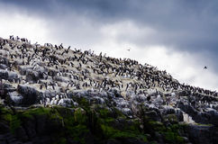 Guillemot colony. A group of guillemots on the farne islands Royalty Free Stock Photos