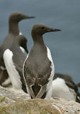 Guillemot or Common Murre Stock Images