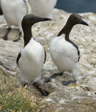 Guillemot or Common Murre Stock Image