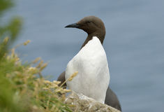 Guillemot or Common Murre Royalty Free Stock Photography
