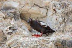 Guillemot de pigeon - columba de Cepphus, adulte d'élevage Santa Cruz, Ca Image stock