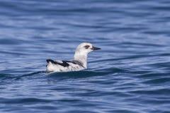 Guillemot de pigeon dans le flottement de plumage d'hiver photographie stock libre de droits