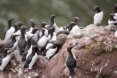 Guillemot em Fowlsheugh Fotografia de Stock Royalty Free