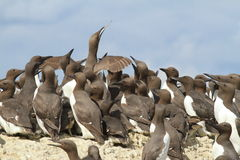 A Guillemot with fish Royalty Free Stock Photography