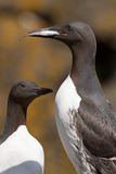 Guillemot with a fish in its beak Stock Photography
