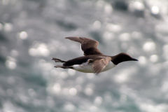 Guillemot in flight Royalty Free Stock Images