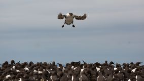 Guillemot flys into colony Stock Photo