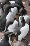 Guillemot at Fowlsheugh Royalty Free Stock Photos