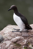 Guillemot at Fowlsheugh Stock Photography