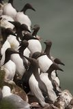 Guillemot at Fowlsheugh Royalty Free Stock Photography