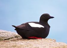Guillemot Hanging About Stock Photography