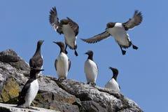 Guillemot-Kolonie - Treshnish Inseln - Schottland stockfotografie