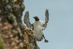 Guillemot landing on cliff. Royalty Free Stock Photos