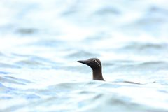 Guillemot na morzu Fotografia Royalty Free