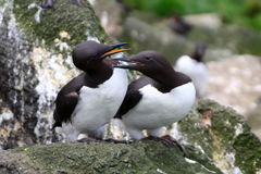 The Guillemot Stock Images