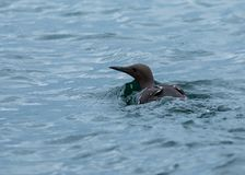 Guillemot, Sea Birds, Farne Islands. Northumberland. England, UK. royalty free stock images