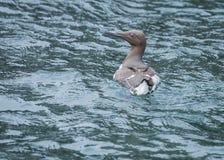 Guillemot, Sea Birds, Farne Islands. Northumberland. England, UK. stock photo