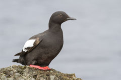 Guillemot sitting on a rock on the shore of the Pacific Ocean in royalty free stock photo