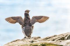 Guillemot skrzydła rozprzestrzeniający Obraz Royalty Free