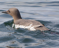 Guillemot swimming at sea in Scotland. Guillemot swimming in the sea off the coast of Tiree Hebrides Western Scotland royalty free stock photos