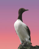 Guillemot ( Uria aalge) Stock Images