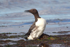 Guillemot (Uria aalge) Royalty Free Stock Photography